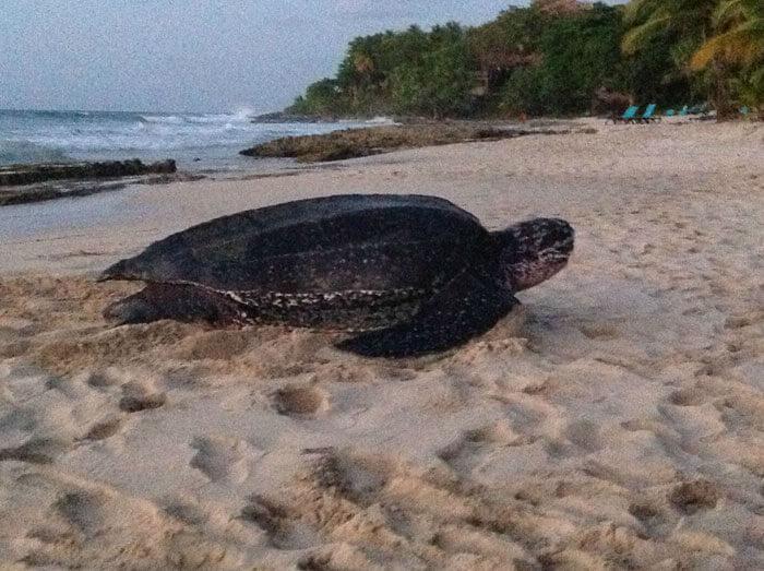 Kæmpe skildpadde